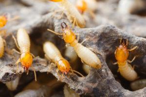 San Antonio Termite Control